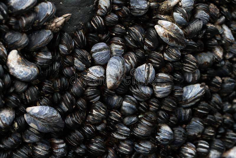 Wybrzeże Pacyfiku Mussels w przypływu basenie obraz stock
