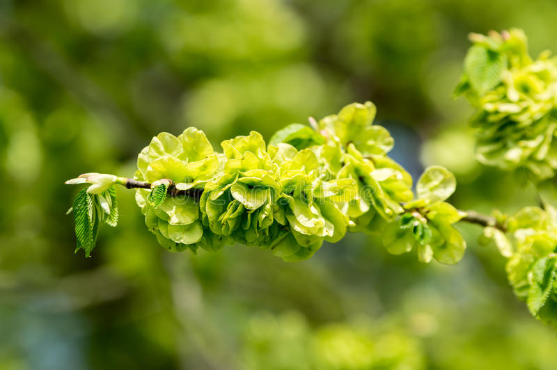 Wych elm or Scots elm (Ulmus glabra). Here seen close up in early spring as it is showing lots of bright green seeds and a few fresh leaves are developing stock images