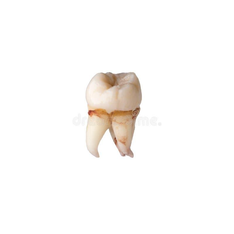 Wyciągany mądrość ząb obraz royalty free