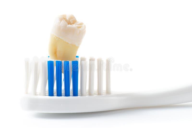 Wyciągany ząb i toothbrush odizolowywający, obraz stock