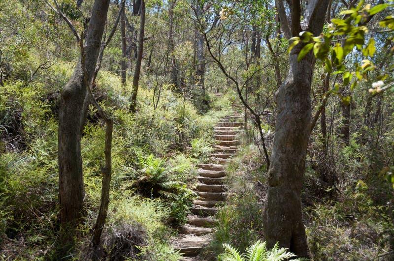 Wycieczkuj?cy ?cie?k? z schodkami w eukaliptusowym lesie z paprociami wewn?trz pod r obraz royalty free