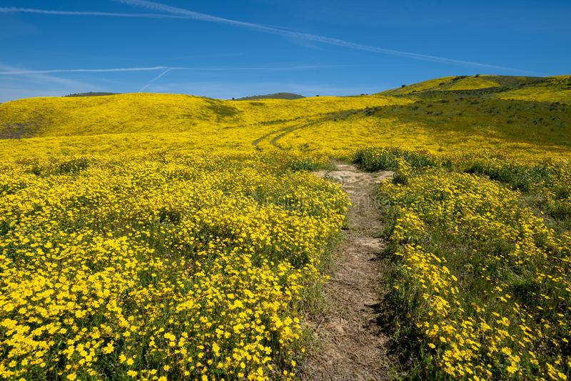 Wycieczkujący ślad prowadzi w górę wzgórza wypełniał z żółtymi wildflowers w Carrizo Prostym Krajowym zabytku podczas Kalifornia  zdjęcia stock