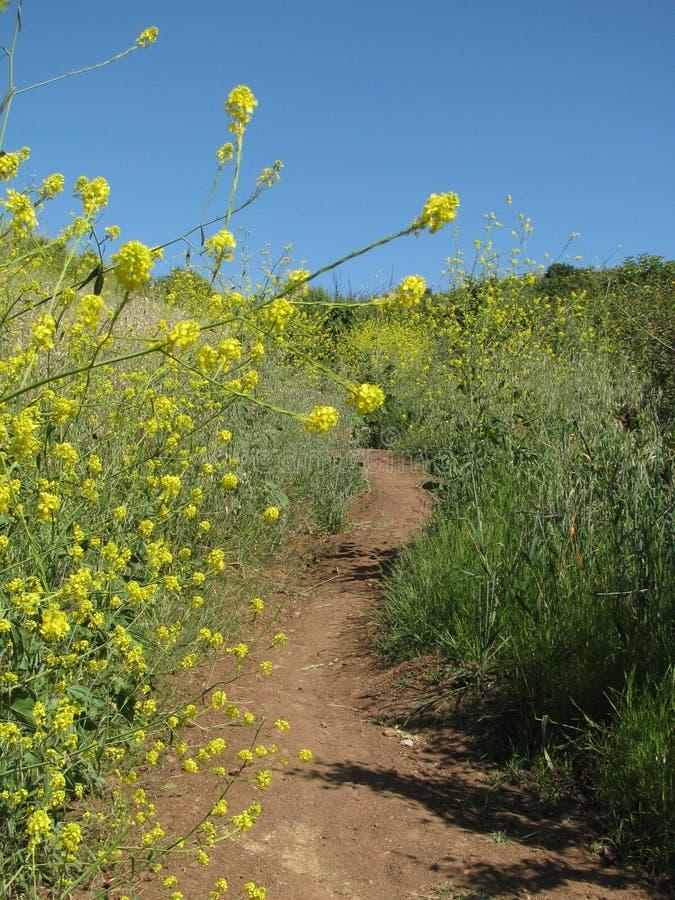 Wycieczkujący ślad przez świeżego wiosny pola wypełniał z złotymi wildflowers zdjęcia stock