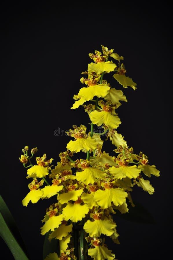 Wydler ` s damy Oncidium Storczykowy altissimum obraz stock