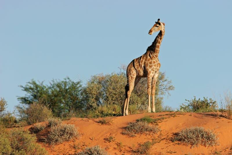 wydmowa żyrafa obraz stock
