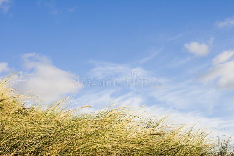 wydmowa trawy. zdjęcia stock