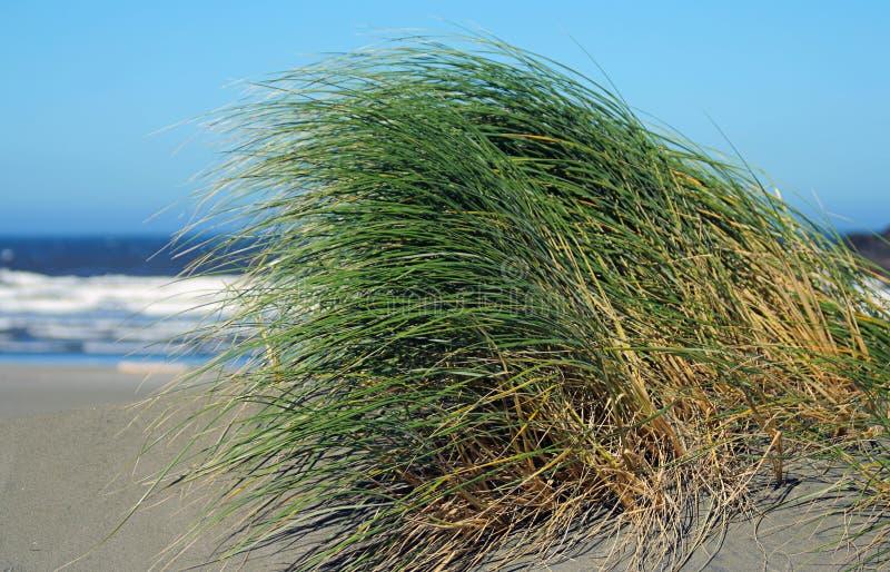 wydmowa trawy. zdjęcie stock
