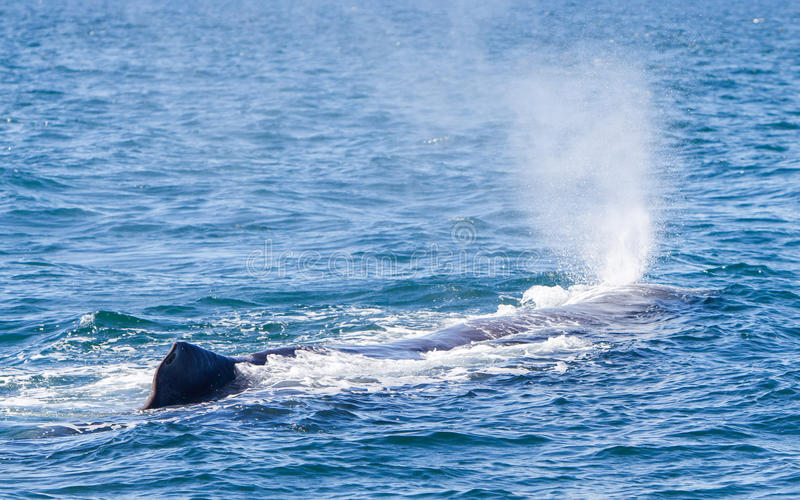 Wydmuszysko wielki sperma wieloryb blisko Iceland fotografia stock