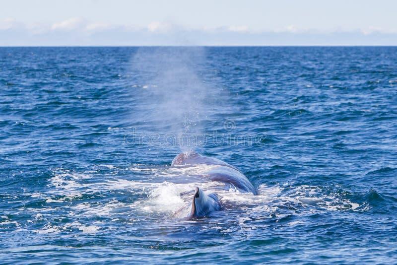 Wydmuszysko wielki sperma wieloryb blisko Iceland obrazy royalty free