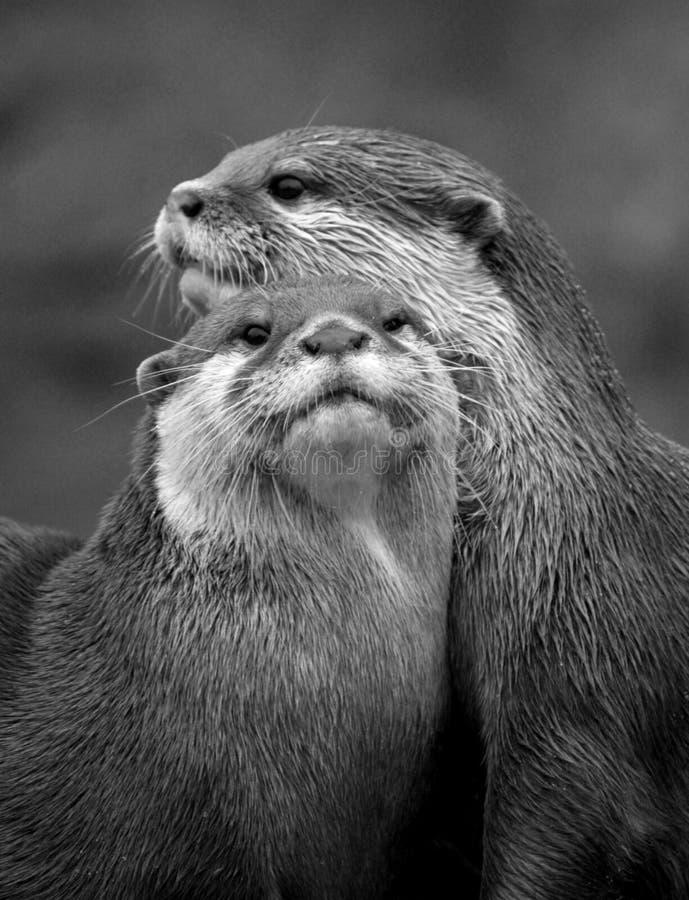 wydry obrazy stock