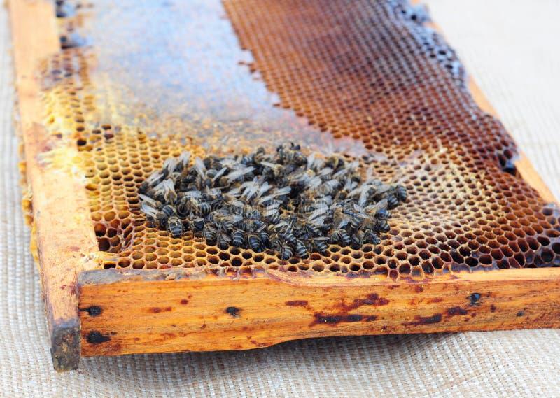 Wygaśnięcie miodowe pszczoły fotografia royalty free