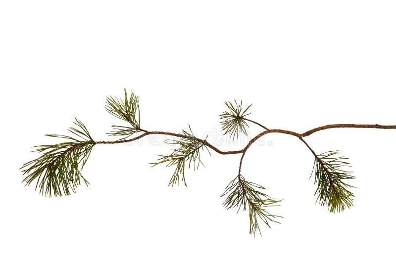 Wyginająca się sosny gałąź, odosobniona na bielu Dla kartek bożonarodzeniowych Przygotowywający dla twój swój dekoracj obrazy royalty free