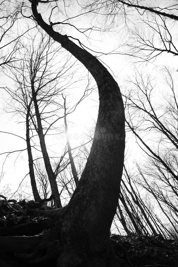 Wyginający się drzewo obraz royalty free