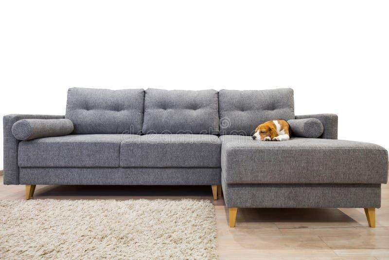 Wygodny meble Beagle pies sweetly śpi fotografia stock