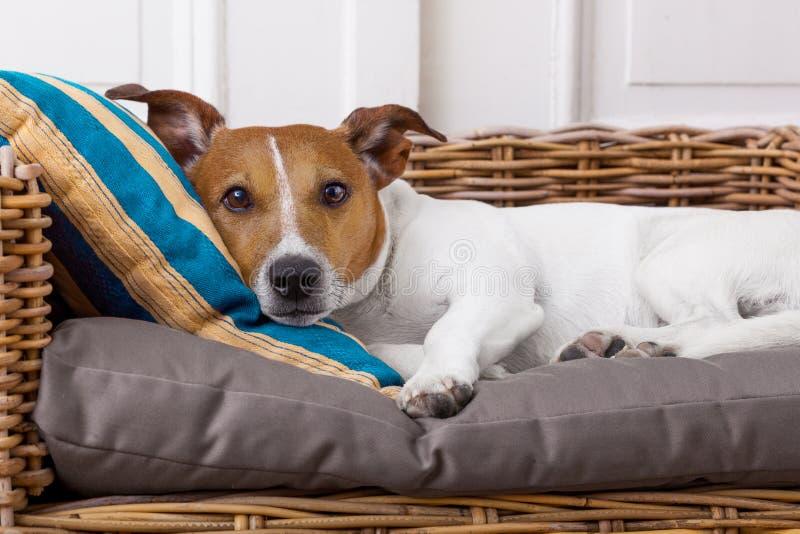Wygodny pies w łóżku fotografia stock