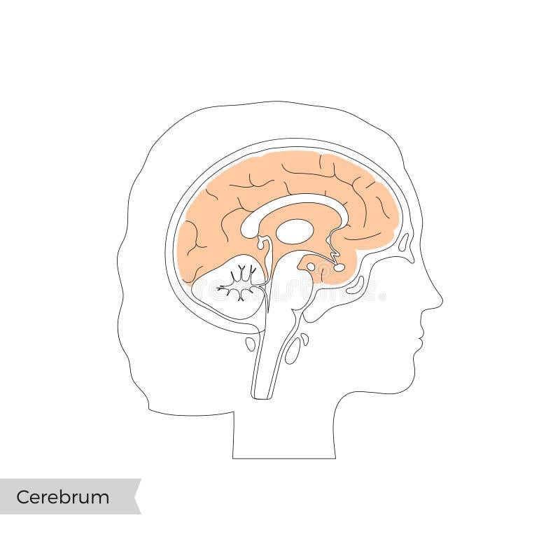Wyizolowana przez wektor ilustracja preparatu Cerebrum ilustracji