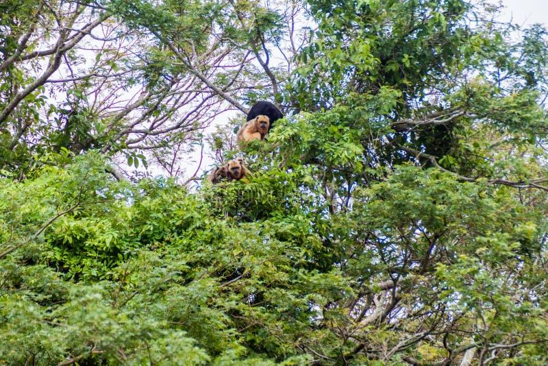 wyjec czarny małpa zdjęcia stock