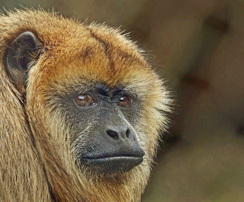 Wyjec małpa obrazy stock