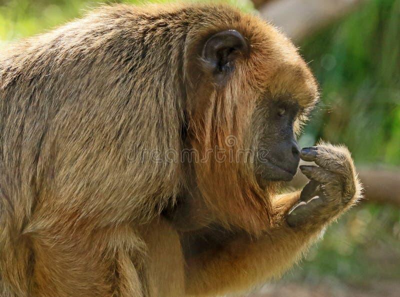 Wyjec małpa fotografia royalty free