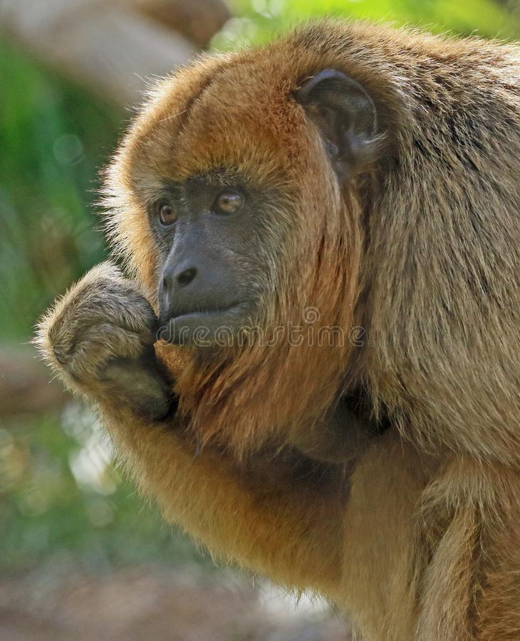 Wyjec małpa obrazy royalty free