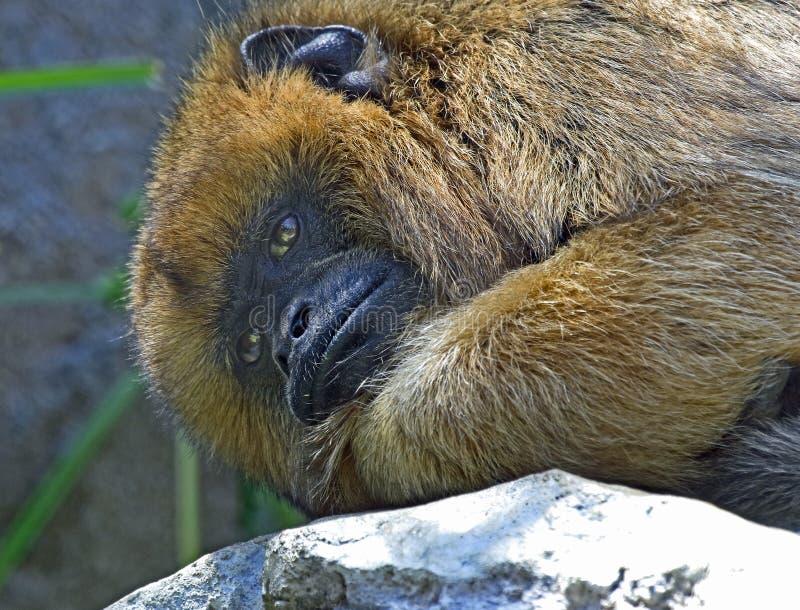 Wyjec małpa fotografia stock