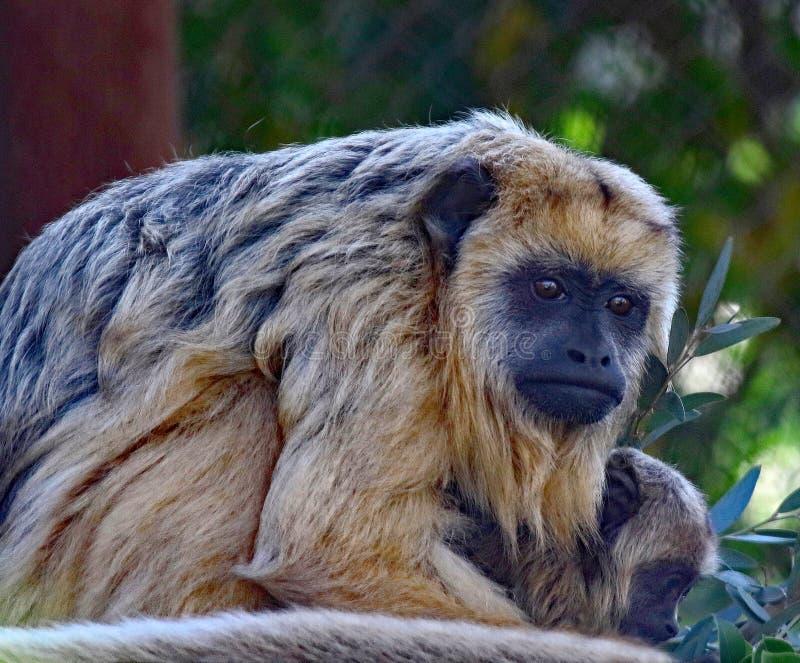 Wyjec małpa obraz royalty free