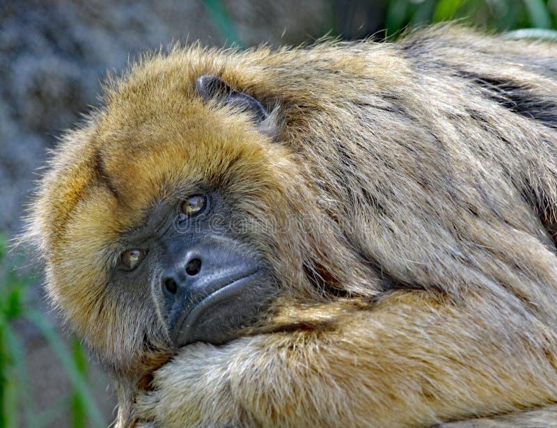 Wyjec małpa zdjęcia stock