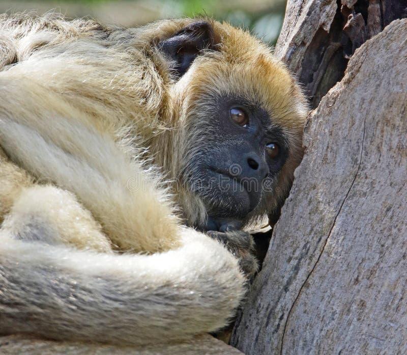 Wyjec małpa zdjęcia royalty free