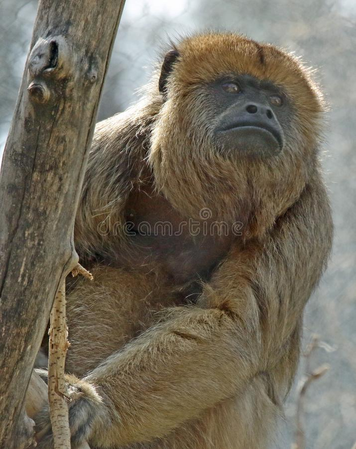 Wyjec małpa zdjęcie stock