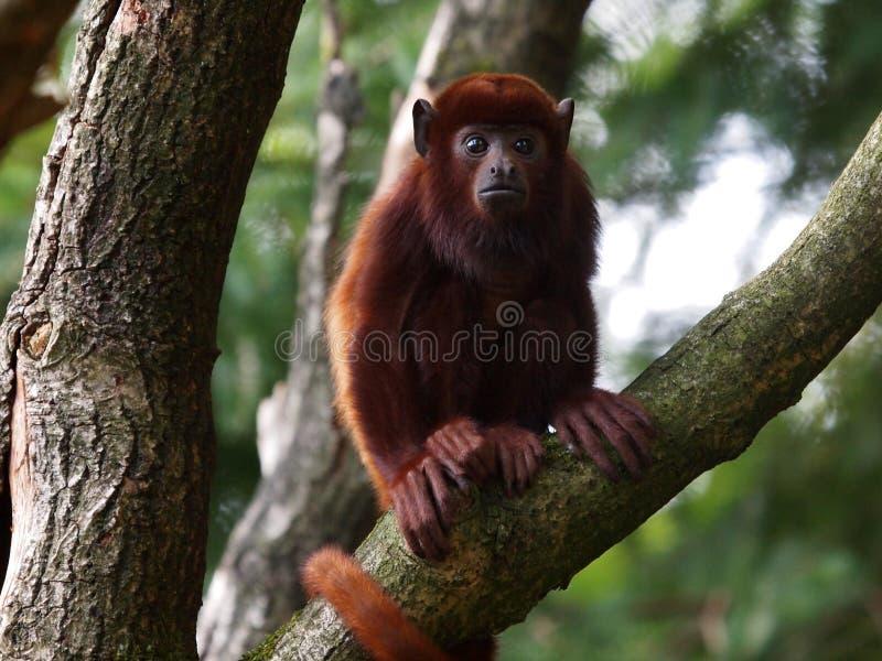 Wyjec małpa obraz stock