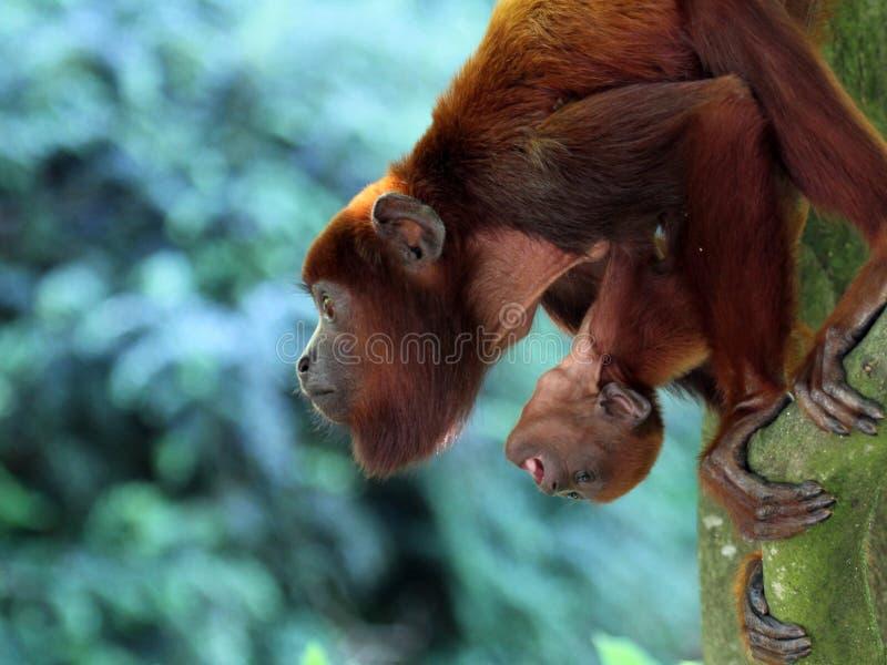 Wyjec małpy matka z dzieckiem fotografia stock