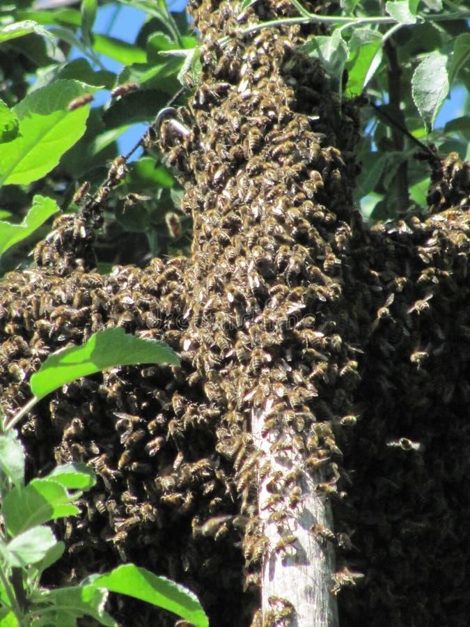 wyjechała gałęziasta rodzinna mieszkaniowa fly stworzyć pszczół pszczół zrozumień nowe części owadów rój czasu quiverful drzewo,  obraz stock