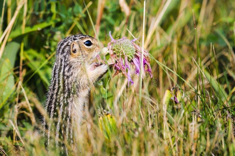 Wykładająca zmielona wiewiórka (Ictidomys tridecemlineatus) fotografia stock