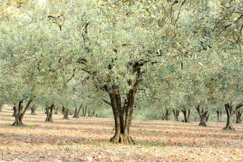 Wykładający w górę drzew oliwnych poly obraz royalty free