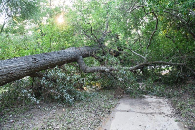 Wykorzeniający Dębowy drzewo fotografia royalty free