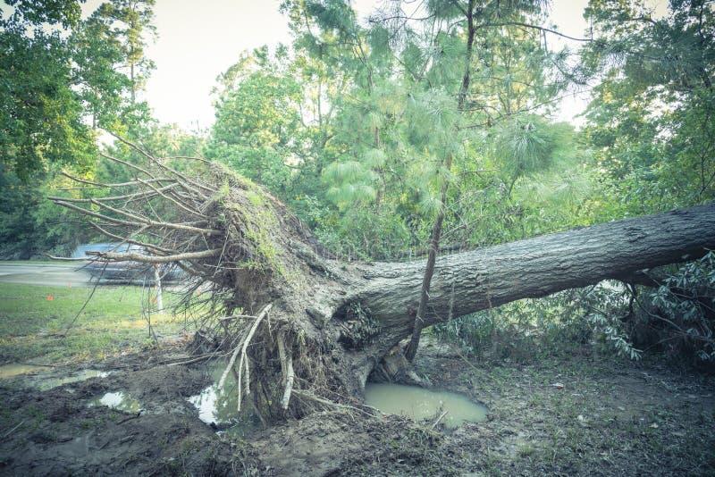 Wykorzeniający Dębowy drzewo fotografia stock