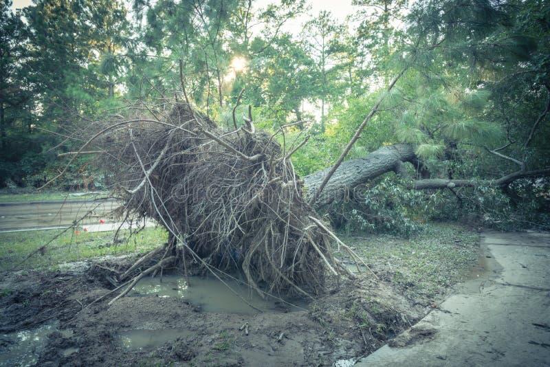 Wykorzeniający Dębowy drzewo zdjęcia royalty free
