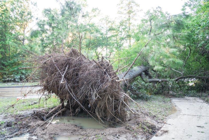 Wykorzeniający Dębowy drzewo obraz stock