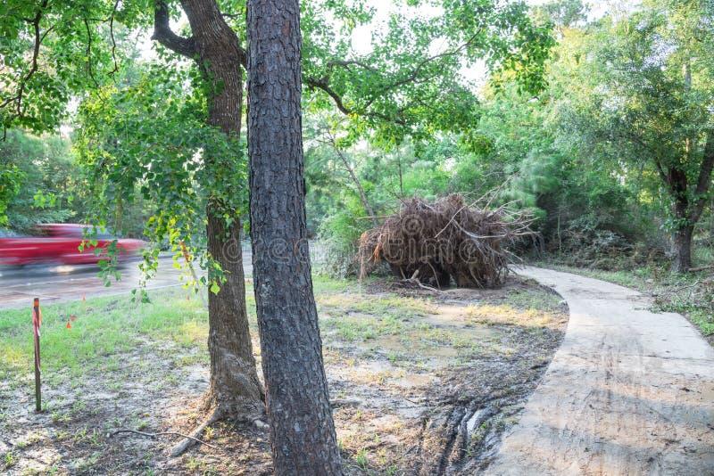 Wykorzeniający Dębowy drzewo zdjęcie royalty free