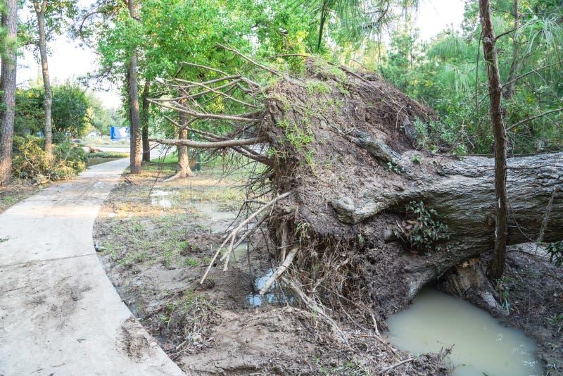 Wykorzeniający Dębowy drzewo obraz royalty free
