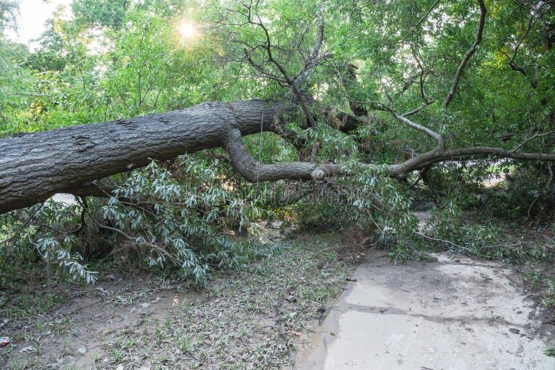 Wykorzeniający Dębowy drzewo zdjęcie stock