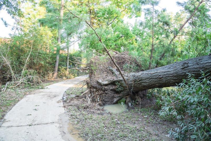 Wykorzeniający Dębowy drzewo zdjęcia stock