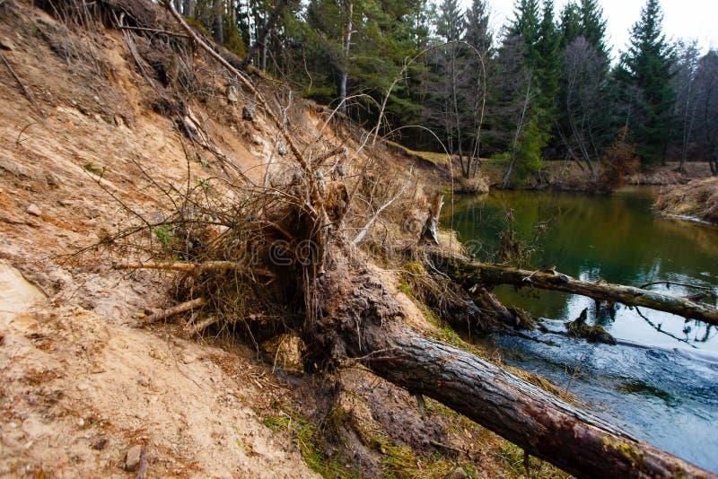 Wykorzeniający drzewa kłama w wodzie erozi ziemia fotografia stock