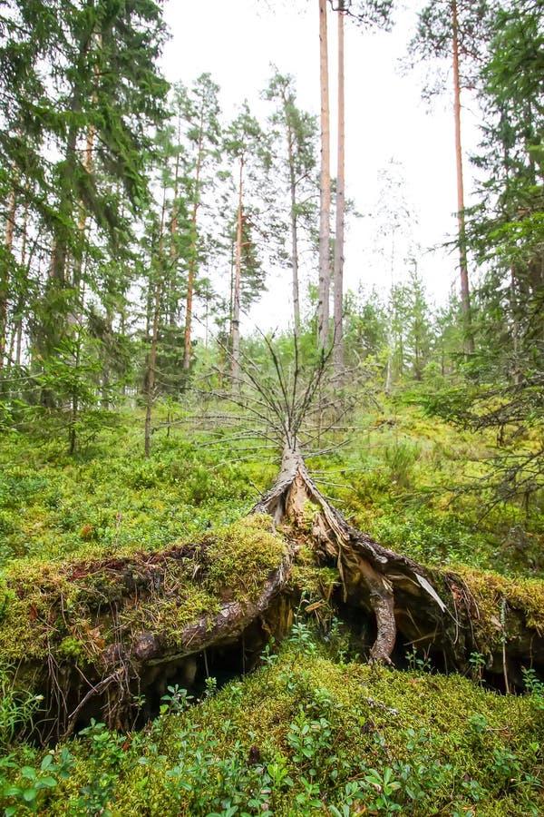 Wykorzeniający drzewa po huraganu w lesie obraz stock