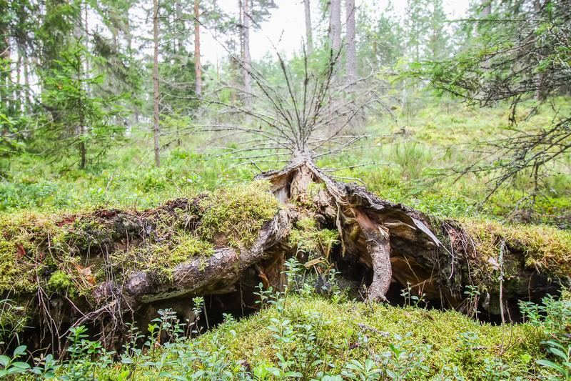 Wykorzeniający drzewa po huraganu w Wschodnim Europa zdjęcia stock