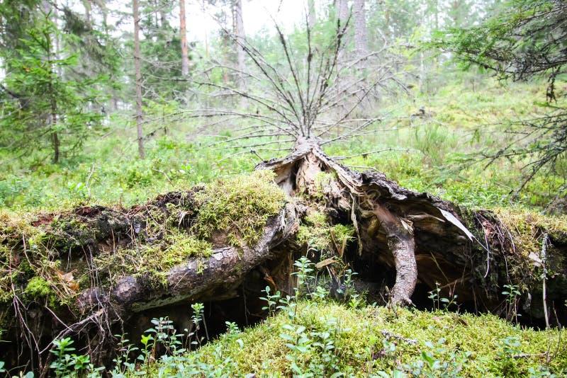 Wykorzeniaj?cy drzewa w lesie w Wschodnim Europa zdjęcie royalty free