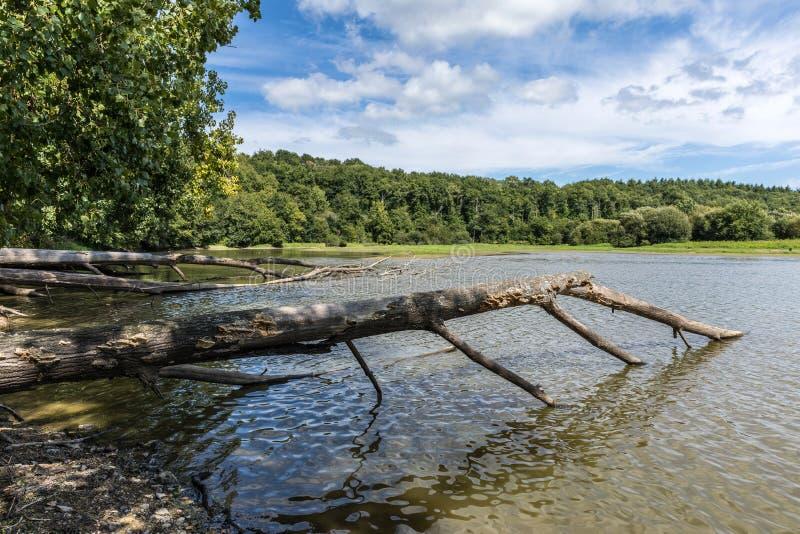 Wykorzeniający drzewni bagażniki w jeziorze obrazy stock