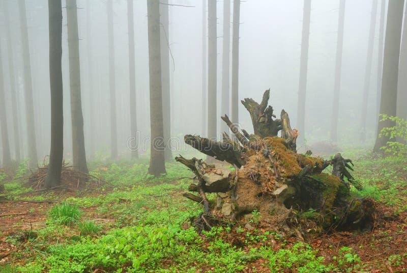Wykorzeniający drzewo zdjęcia stock