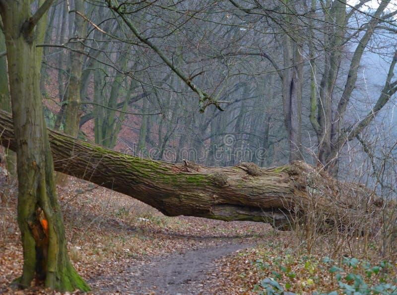Wykorzeniający drzewo blokuje lasową ścieżkę fotografia stock