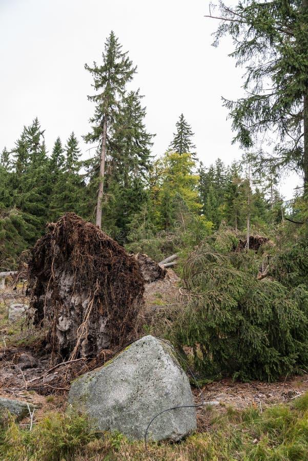 Wykorzeniający drzewo - burzy szkoda obraz royalty free